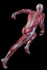 機能的に躍動する人体の筋肉